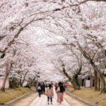 醍醐寺桜祭り2018見頃や開花情報は?アクセスや駐車場についても!