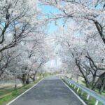 木曽川堤桜祭り2018の見頃や開花状況は?駐車場や屋台出店情報も!